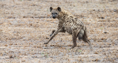 Spotted Hyena 'Spooked' South Africa