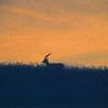 Dawn gazelle
