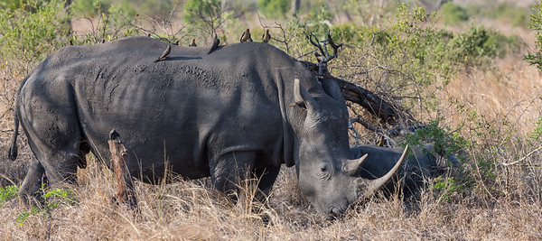 White Rhino and baby Rhino with Oxpeckers South Africa