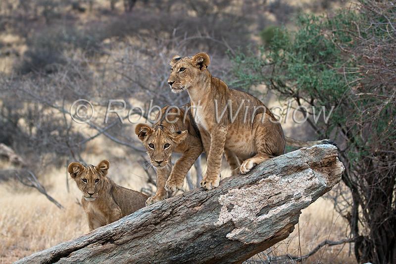 Three African Lion Cubs, Panthera leo, Samburu National Reserve, Kenya, Africa