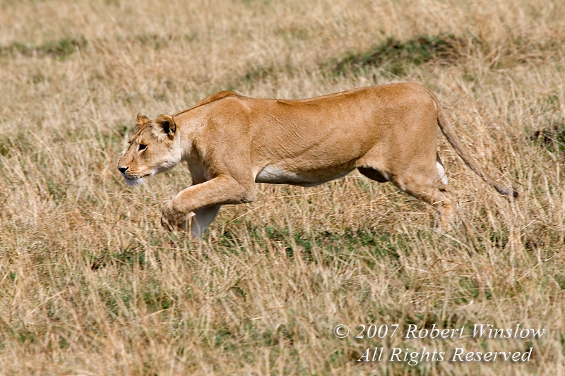 Stalking, African Lion, Panthera leo, Red Oat Grass, Masai Mara National Reserve, Kenya, Africa