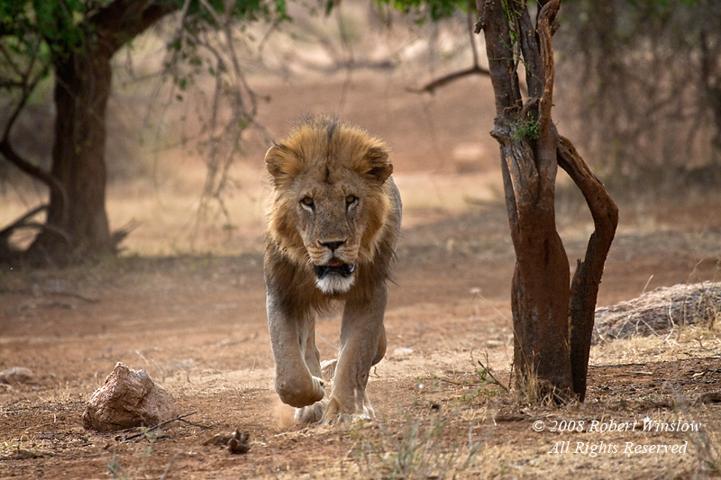 Male African Lion,  Panthera leo, Samburu National Reserve, Kenya, Africa