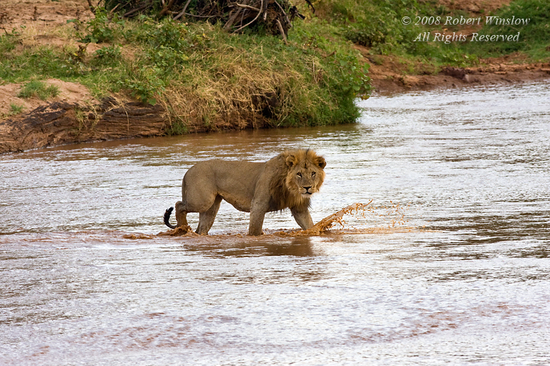 Male African Lion,  Panthera leo, Crossing the Ewaso Ngiro River, Samburu National Reserve, Kenya, Africa
