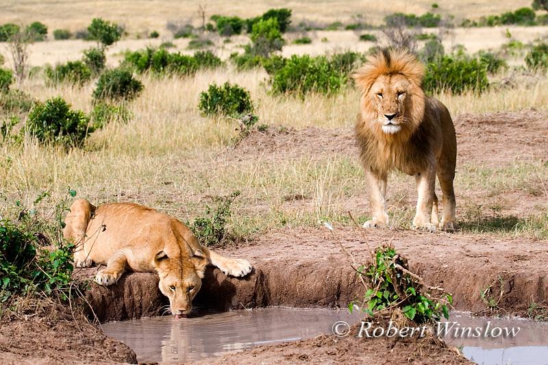 African Lion Pair (Panthera leo), Lioness drinking water, Masai Mara, Kenya, Africa