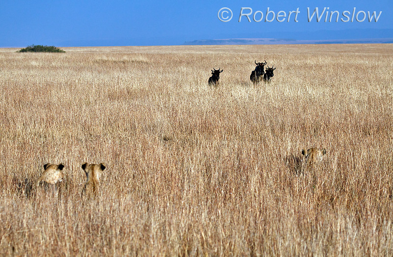 African Lions Hiding in the Grass watching as Wildebeests approach, Masai Mara, Kenya Africa