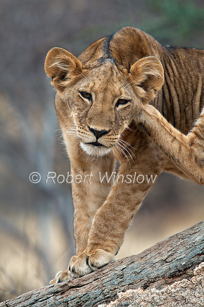 African Lion Cub, Scratching his head, Panthera leo, Samburu National Reserve, Kenya, Africa