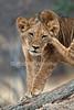 African Lion Cub, Scratching his head, Panthera leo, Samburu National Reserve, Kenya, Africa