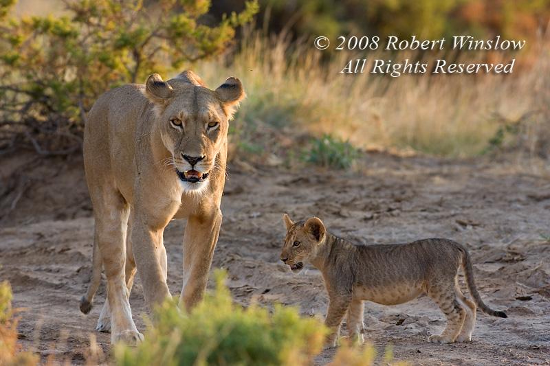 African Lions, Mother and Cubs,  Panthera leo, Samburu National Reserve, Kenya, Africa