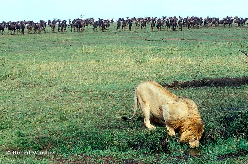 Male African Lion Drinking, Wildebeests Watch in Background, Masai Mara National Reserve, Kenya