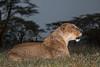 Female African Lion, Panthera leo, Calling, Lake Nakuru National Park,  Kenya, Africa