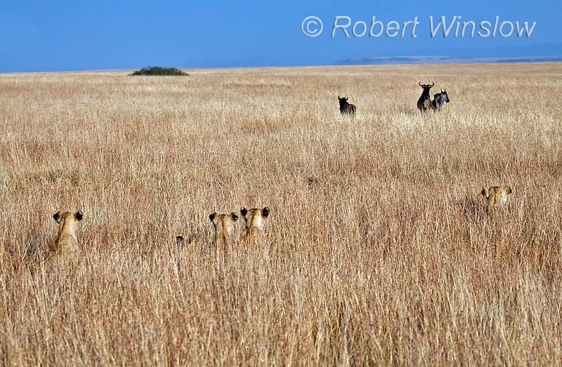 African Lions Hiding in the Grass watching as Wildebeests approach, Masai Mara, Kenya Africa