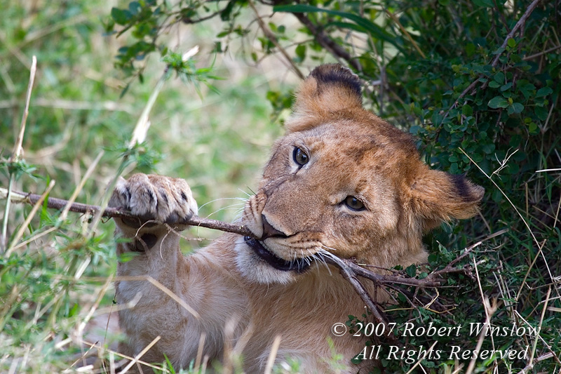 African Lion Cub Playing with a Stick, Panthera leo, Masai Mara National Reserve, Kenya, Africa