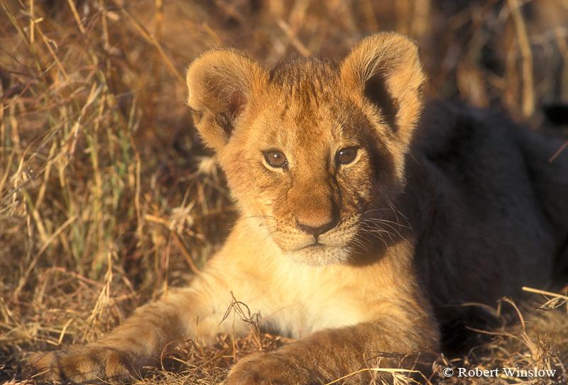 African Lion Cub(Panthera leo),  Masai Mara Nationa Reserve, Kenya, Africa