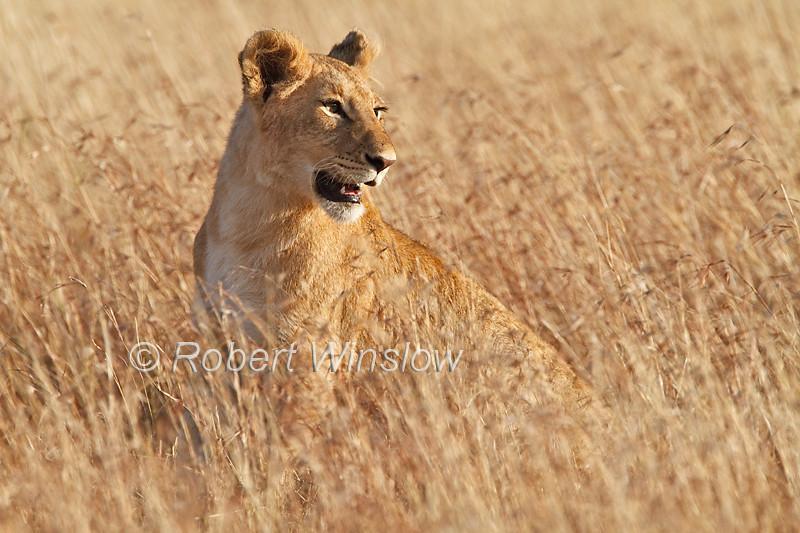 Immature African Lion, Panthera leo, Masai Mara, National Reserve, Kenya, Africa