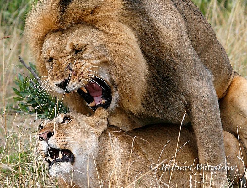 African Lions (Panthera leo) Mating, Masai Mara, Kenya, Africa