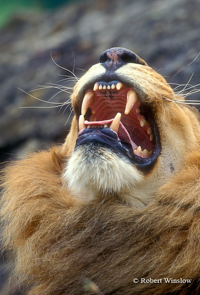 Male African Lion (Panthera leo) with mouth open, controlled conditions