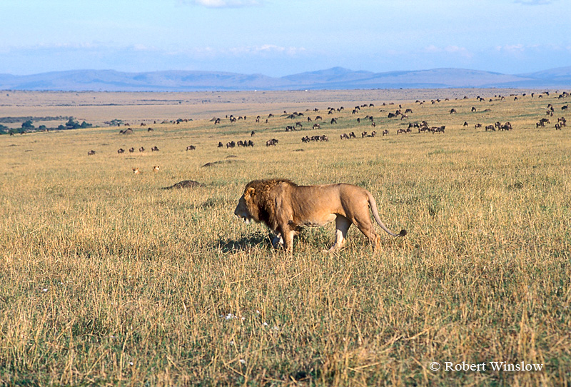Male African Lion Walking, Two Female Lions in Grass in Midground, Wildebeests in Background, Masai Mara National Reserve; Kenya
