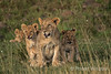 African Lions 1212W1C