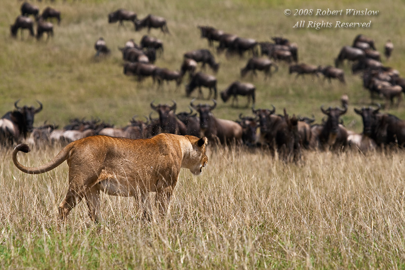 Female African Lion, Panthera leo, Hunting Wildebeest, Masai Mara National Reserve, Kenya, Africa