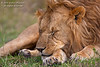 Sleeping Male African Lion, Panthera leo, Masai Mara National Reserve, Kenya, Africa