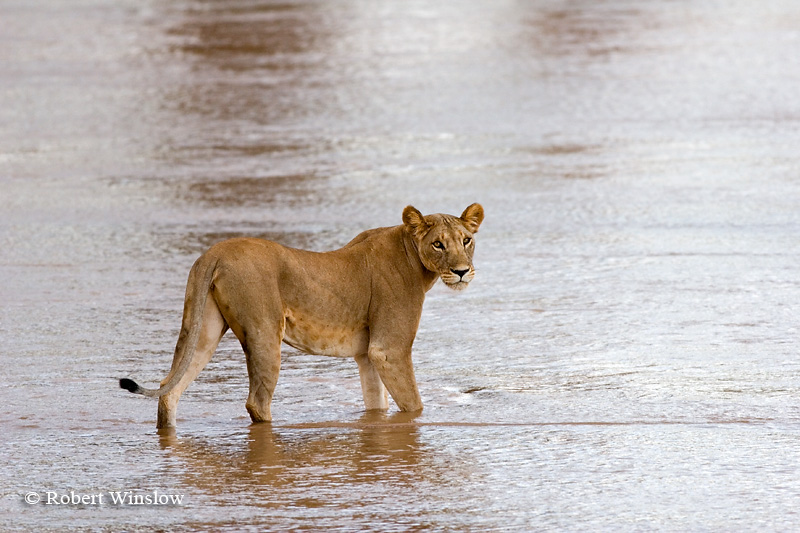 Female African Lion, Panthera leo, Crossing Uaso Nyiro River, Samburu National Reserve, Kenya, Africa