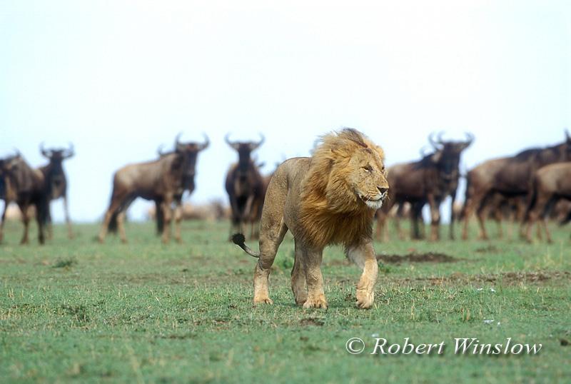 Male African Lion Walking as Wildebeests watch in the Background, Panthera leo,  Masai Mara National Reserve, Kenya, Africa