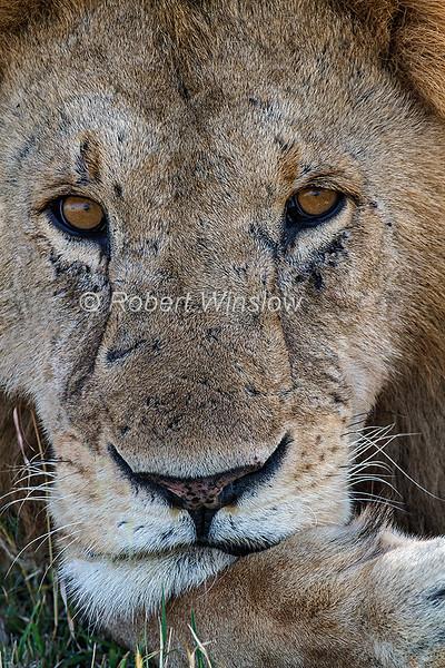 Male African Lion, Panthera leo, Masai Mara National Reserve, Kenya, Africa