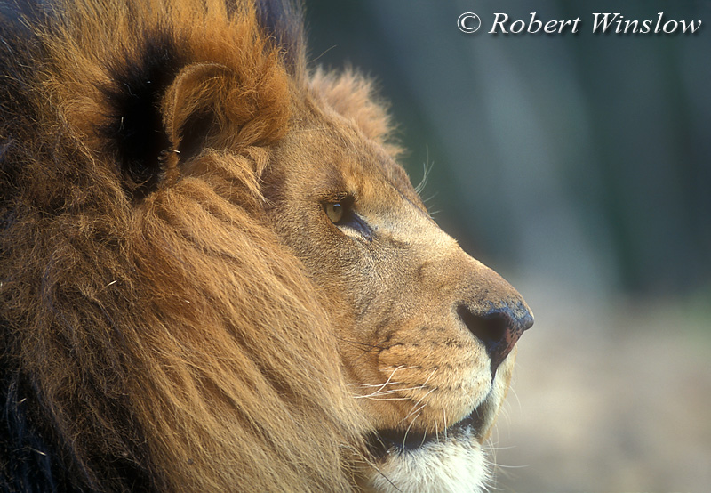 Male African Lion (Panthera leo), controlled conditions