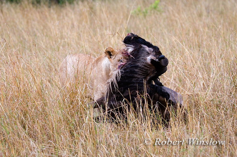 Female African Lion with Wildebeest it Killed, Panthera leo, Masai Mara, National Reserve, Kenya, Africa