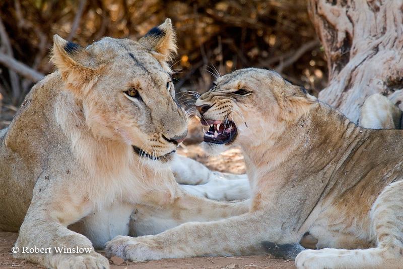 Young African Lions Playing,  Panthera leo, Samburu National Reserve, Kenya, Africa