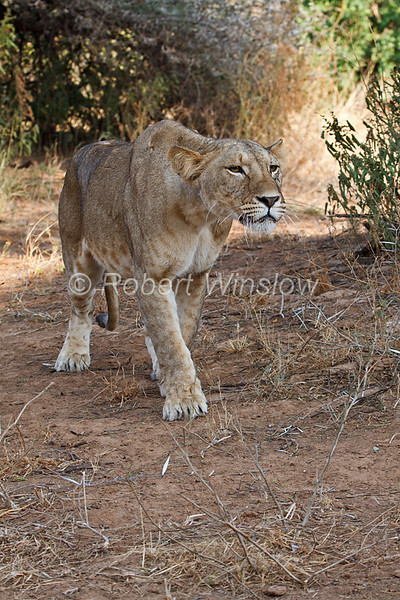 Female African Lion, Panthera leo, Samburu National Reserve, Kenya, Africa