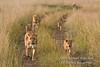 African Lions, Panthera leo, Red Oat Grass, Masai Mara National Reserve, Kenya, Africa