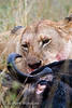 Female African Lion Feeding on Dead Wildebeest, Panthera leo, Masai Mara, National Reserve, Kenya, Africa