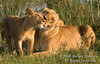 African Lions, Mother and Cubs,  Panthera leo, Masai Mara National Reserve, Kenya, Africa