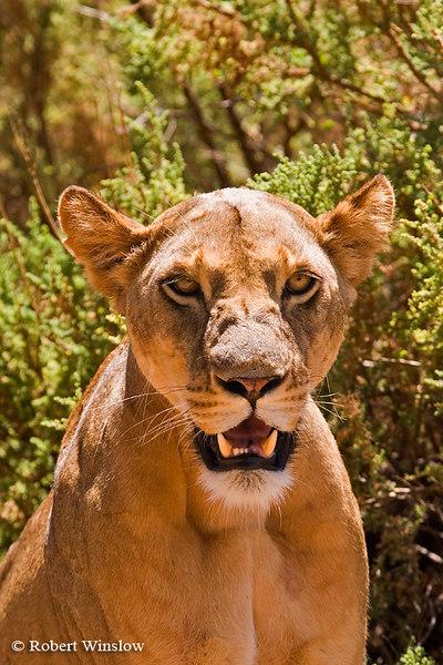 Female African Lion, Panthera leo, Samburu National Reserve, Kenya, Africa