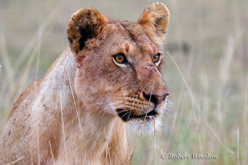 Female African Lion, Panthera leo, Masai Mara, National Reserve, Kenya, Africa