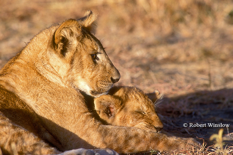 Two African Lion Cubs (Panthera leo), Masai Mara, Kenya, Africa