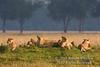Pride of African Lions, Panthera leo, Masai Mara National Reserve, Kenya, Africa