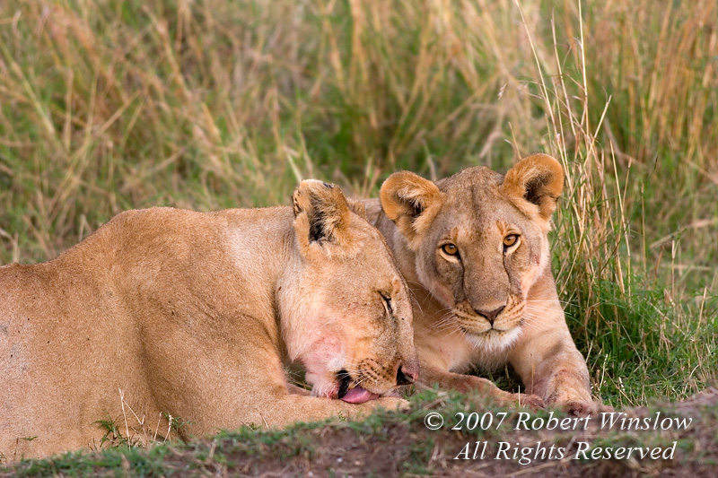 African Lions, Panthera leo, Masai Mara National Reserve, Kenya, Africa