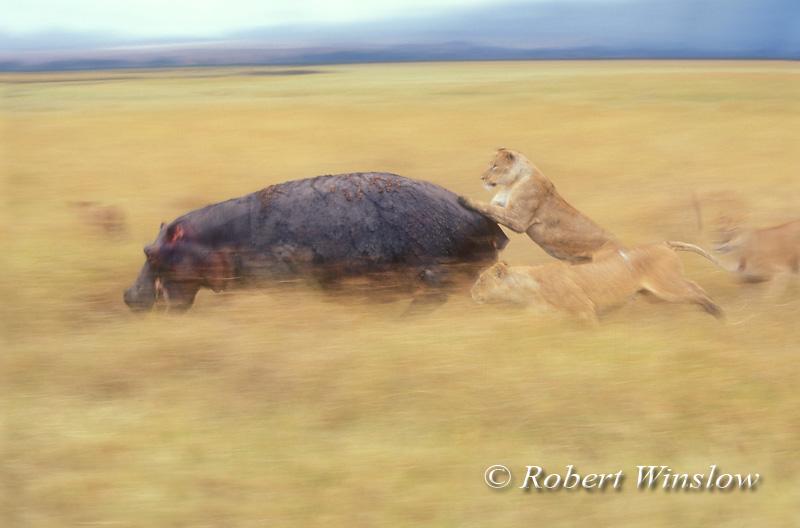 African Lions, Panthera leo, attacking a Hippopotamus, Ngorongoro Crater, Tanzania, Africa