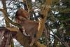 Male African Lion in a Tree, Lake Nakuru National Park, Kenya, Africa