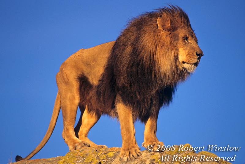 Adult Male African Lion (Panthera leo), controlled conditions