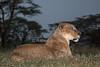 Female African Lion, Panthera leo, Lake Nakuru National Park,  Kenya, Africa