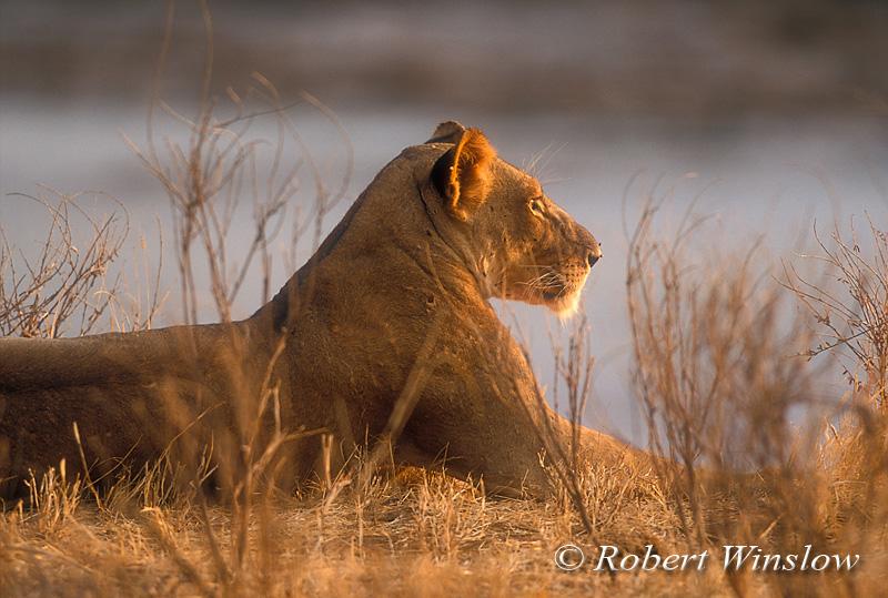 Female African Lion, Panthera leo, Sunset, Samburu National Reserve, Kenya, Africa