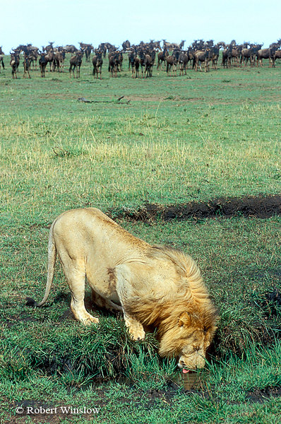 Male African Lion Drinking, Wildebeests Watch in Background, Masai Mara National Reserve, Kenya