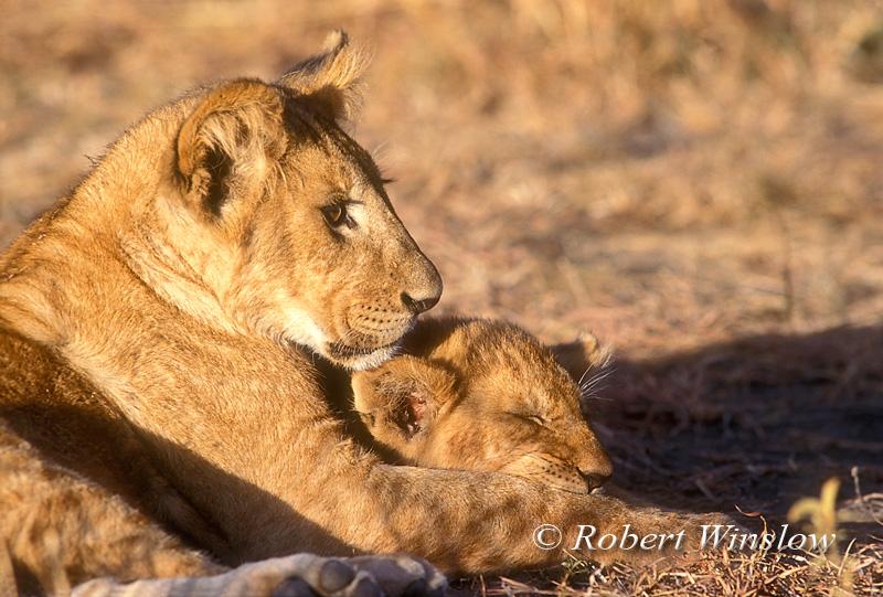African Lion Cubs, Panthera leo, Masai Mara, National Reserve, Kenya, Africa