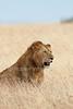 Male African Lion, Panthera leo, Red Oat Grass, Masai Mara National Reserve, Kenya, Africa