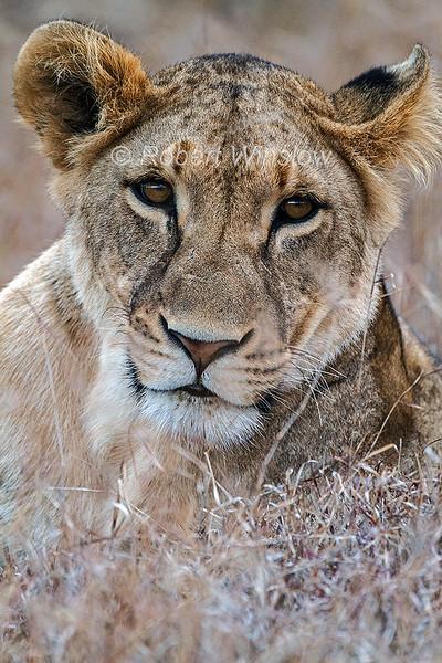 Female African Lion, Panthera leo, Ol Pejeta Wildlife Conservancy, Kenya, Africa