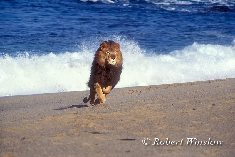 Male African Lion (Panthera leo) on the Beach by the Ocean, controlled conditions
