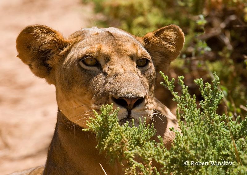 Stalking Female African Lion, Panthera leo, Samburu National Reserve, Kenya, Africa